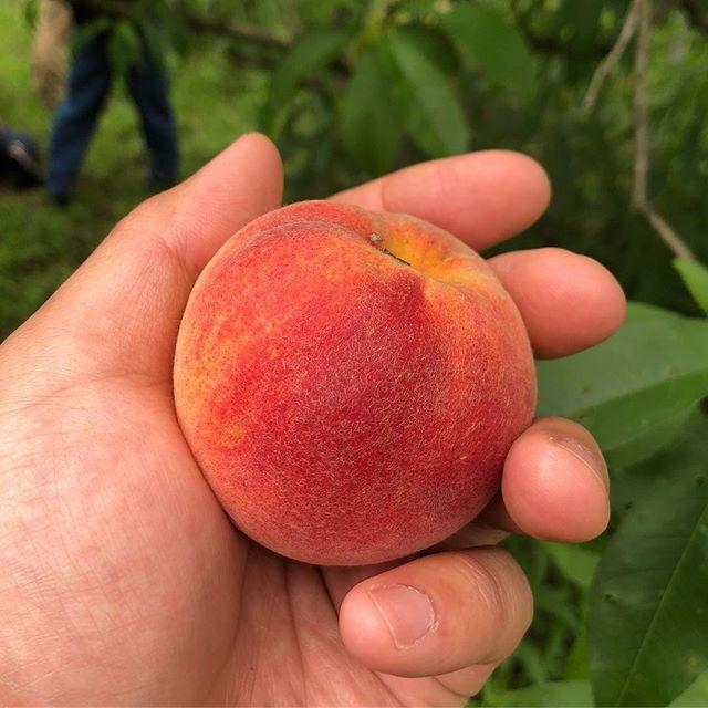 間もなく桃の季節。本日フラベドのスタッフたちは玉名郡のにしだ果樹園を訪問し、農法の勉強をしています。農園では早生の黄桃ひめこなつが甘い香りを放っていました。