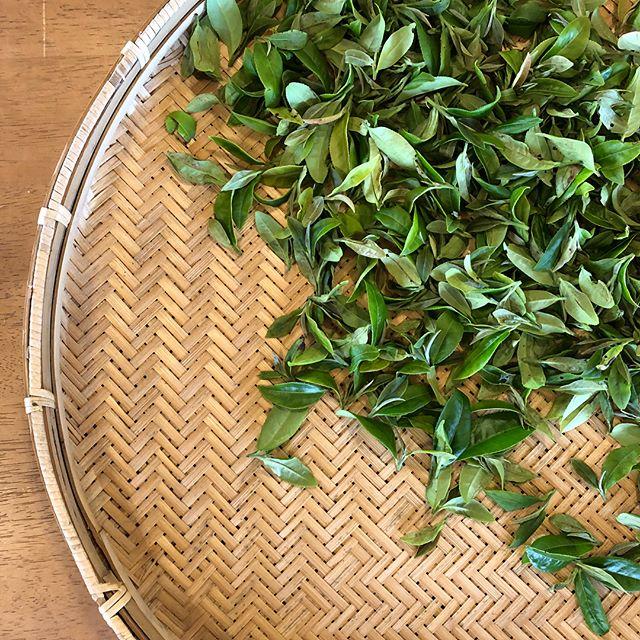 フラベドは本日臨時のお休みをいただき、水俣の天の製茶園と津奈木町の柑橘農家さんたちを訪れました。自信と愛着を持ってお客様にジャムやデザートを提供できるように、生産者の方と対話し、実際に栽培されている現場を目にするというプロセスを、私たちはとても大切にしています。
