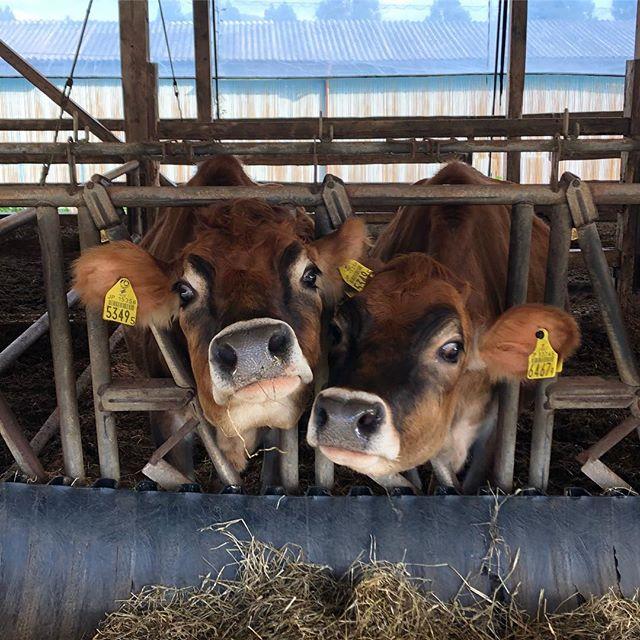 ススキが黄金色に輝く阿蘇を超え、山のいぶきのある小国町へ。フラベドで使用している牛乳やヨーグルトは、ここ、高村武志牧場のジャージー牛からお乳を分けてもらっています。牧草を作り、乳酸発酵させて、なるべく牛が健康に育つような餌を考える。手間暇かけて大切に育てられたジャージー牛からは山吹色の濃厚なミルクがとれます。私たちの大切にしている、熊本の本当に美味しい素材のひとつです。